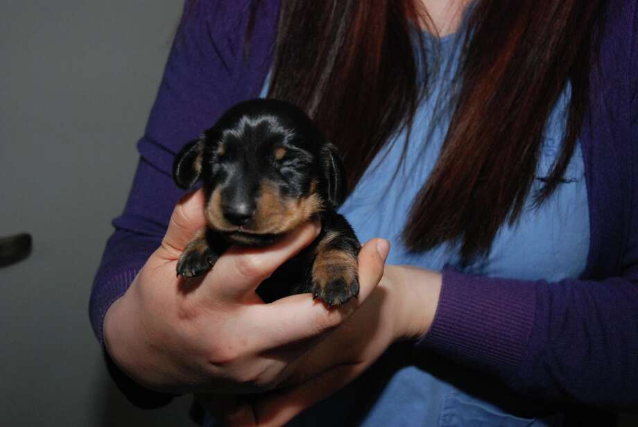 This undated photo issued by Channel 4 on Wednesday April 9, 2014 shows Britain's first cloned dog, a dachshund called Mini Winnie. The dog was cloned from the 12-year-old pet called Winnie, owned by Rebecca Smith, from London after winning a competition organized by a South Korean tech firm. The dachshund puppy was born in Seoul, South Korea, at the end of March 2014. Photo: Uncredited, AP  / AP2014
