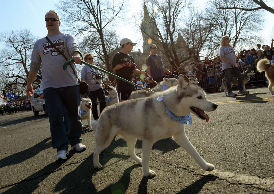 Rob Couillard, with Connecticut Valley Siberian Husky Club walks in a parade, during the UConn Victory Parade and Rally held for the men and women's team in downtown Hartford, Conn. on Sunday April 13, 2014. Photo: Christian Abraham / Connecticut Post