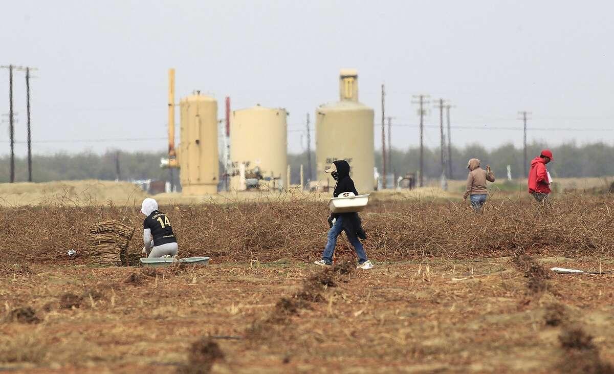 Old oil production water tanks are a backdrop for farm workers cutting grape vines for transplating in a field on March 5, 2014, near Shafter, Calif. Though there could be 15 billion barrels of oil trapped in the Monterey Shale in Kern County, getting to them through California's complicated, earthquake-altered geology could be a prohibitively expensive undertaking. (Brian van der Brug/Los Angeles Times/MCT)