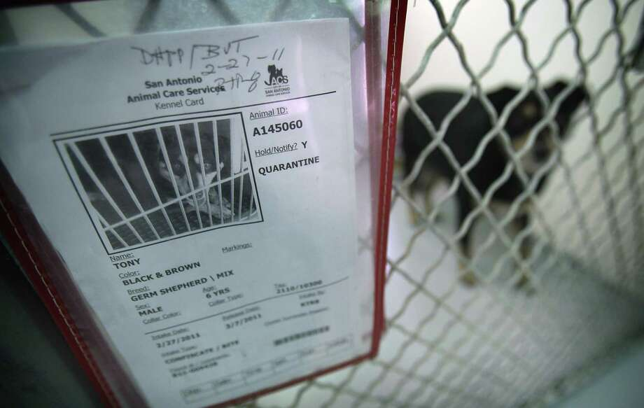 Reported bite or scratch cases in Bexar County in fiscal 2013 totaled 3,652, beating 2012's 3,368. A possible reason for a steady rise in the totals is greater awareness of laws that require reporting when such injuries break the skin, an Animal Control Services spokeswoman said. / SAN ANTONIO EXPRESS-NEWS