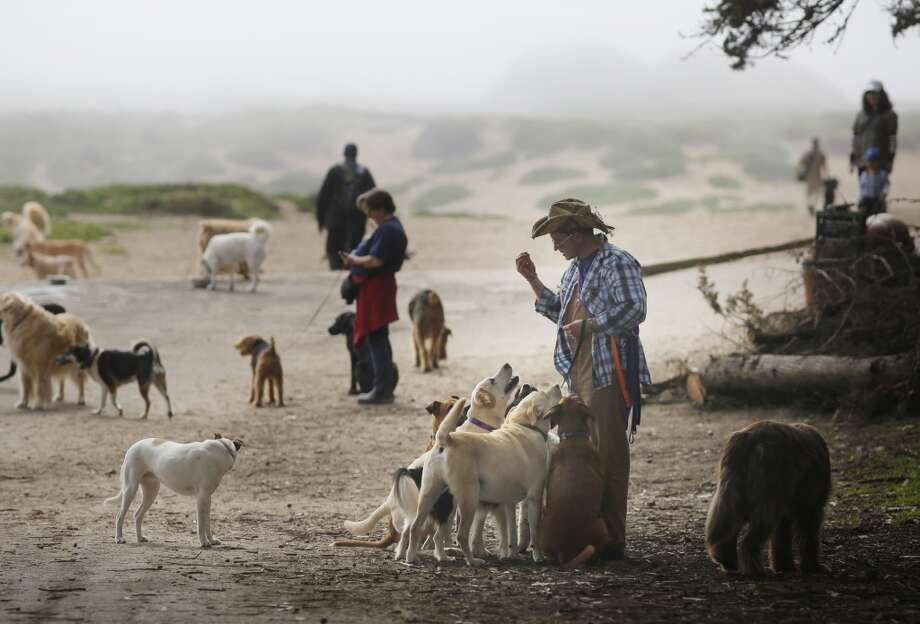 Profession dog walker Wild Bill Peacock waits for his turn at the doggie water fountain with 8 of his clients dogs at Fort Funston Golden Gate National Recreation Area on the edge of San Francisco, Calif. Photo: Mike Kepka, The Chronicle