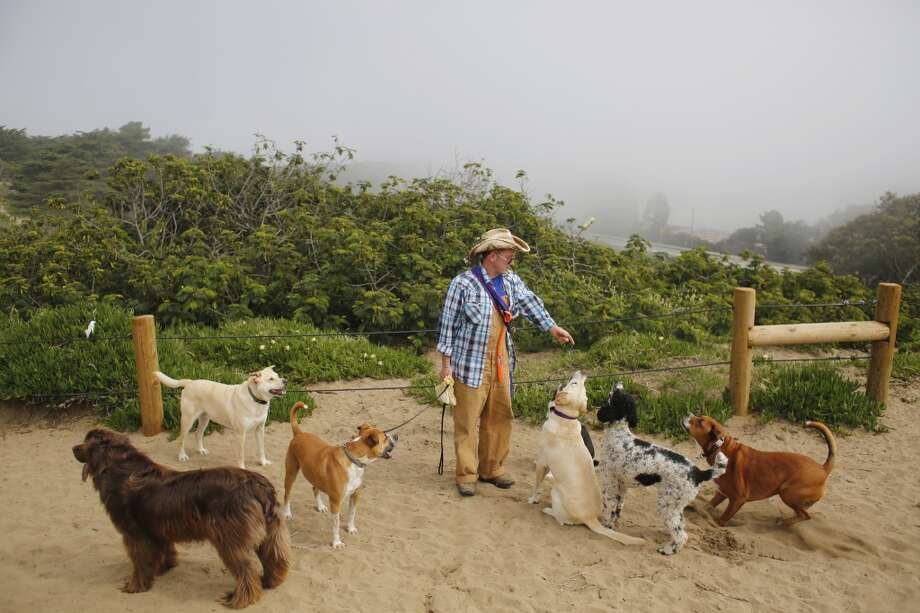 Profession dog walker Wild Bill Peacock controls his mid-day pack of dogs at Fort Funston Golden Gate National Recreation Area on the edge of San Francisco, Calif. Photo: Mike Kepka, The Chronicle