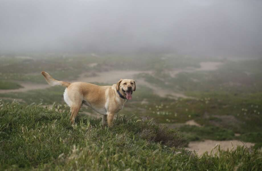 Shiloh, an energetic lab, waits for the rest of Wild Bill Peacock's  pack to catch up with him at Fort Funston at the edge of San Francisco, Calif. Photo: Mike Kepka, The Chronicle