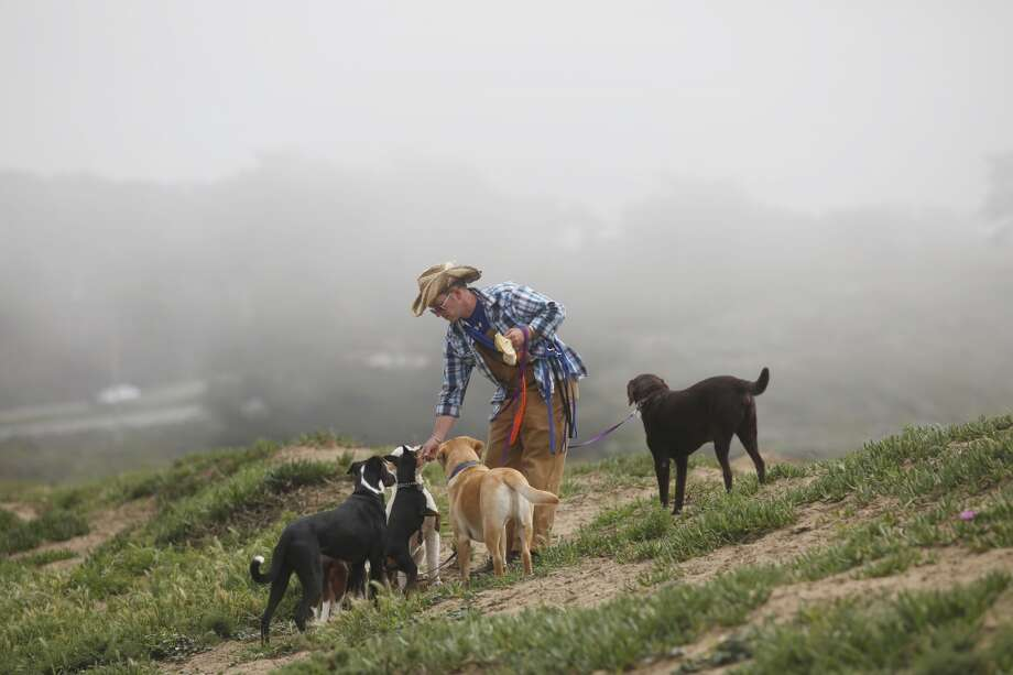 Wild Bill Peacock walks his clients dogs at Fort Funston at the edge of San Francisco, Calif. Photo: Mike Kepka, The Chronicle