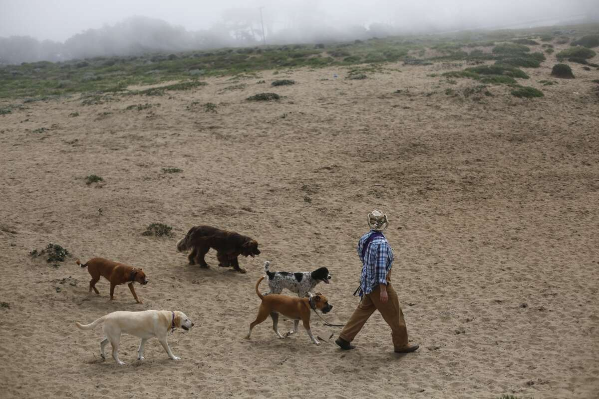At the end of a walk, Wild Bill Peacock heads a pack of dogs back to his care at Fort Funston on the edge of San Francisco, Calif.
