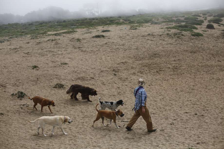 At the end of a walk, Wild Bill Peacock heads a pack of dogs back to his care at Fort Funston on the edge of San Francisco, Calif. Photo: Mike Kepka, The Chronicle