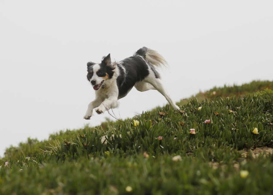 Blue, one of Wild Bill Peacock's customers, comes running at Fort Funston when called. Photo: Mike Kepka, The Chronicle