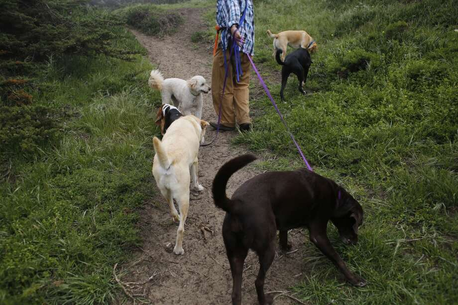 Wild Bill Peacock walks his clients dogs at Fort Funston. Photo: Mike Kepka, The Chronicle