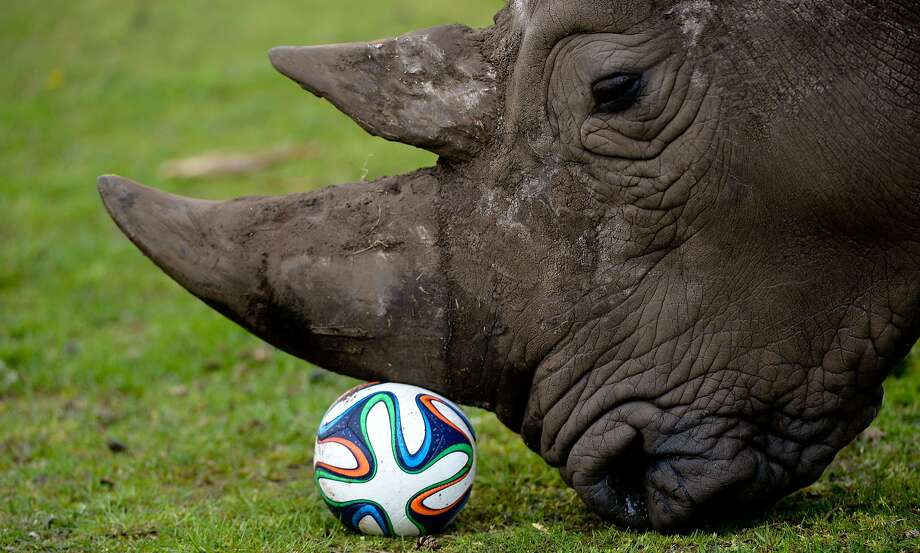 Football without feet:Serengeti Park in Hodenhagen, Germany, now features rhinoceros soccer. Photo: Peter Steffen, AFP/Getty Images