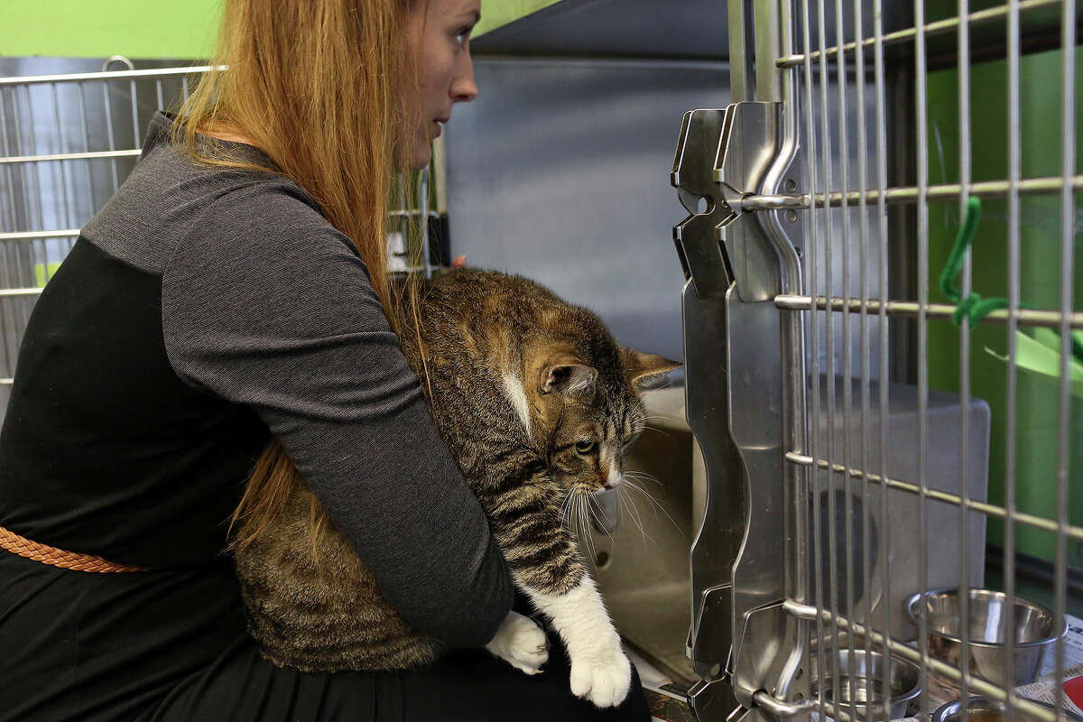 Live Release Manager Bethany Heins takes Marvin, a cat weighing 26 lbs., out of his cage at Animal Care Services, in San Antonio on Friday, April 11, 2014. Marvin, who was seized in an animal cruelty situation, is the heaviest cat to come into the care of Animal Care Services.