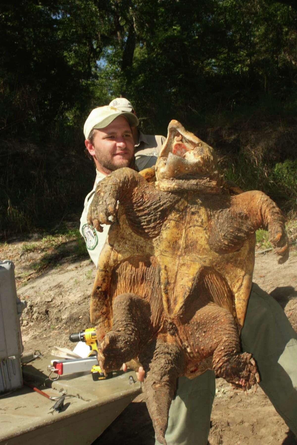 Travis Thomas hoists a 130-pound Suwannee alligator snapping turtle.