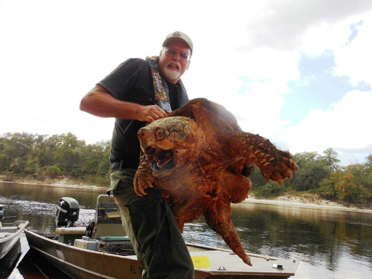 Kevin Enge (FWC) holding up large male Suwannee alligator snapping turtle.