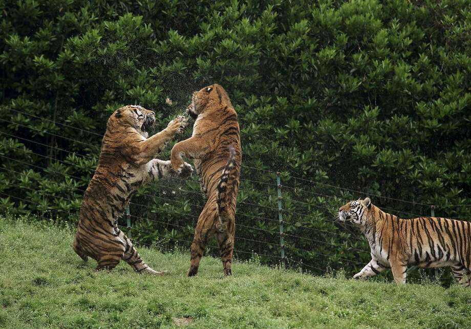 Put up your dukes! A brouhaha breaks out at the zoo in Yangzhou, China. It could be over a piece of meat or disputed territory, but our money's on a lady tiger. Photo: China Stringer Network, Reuters
