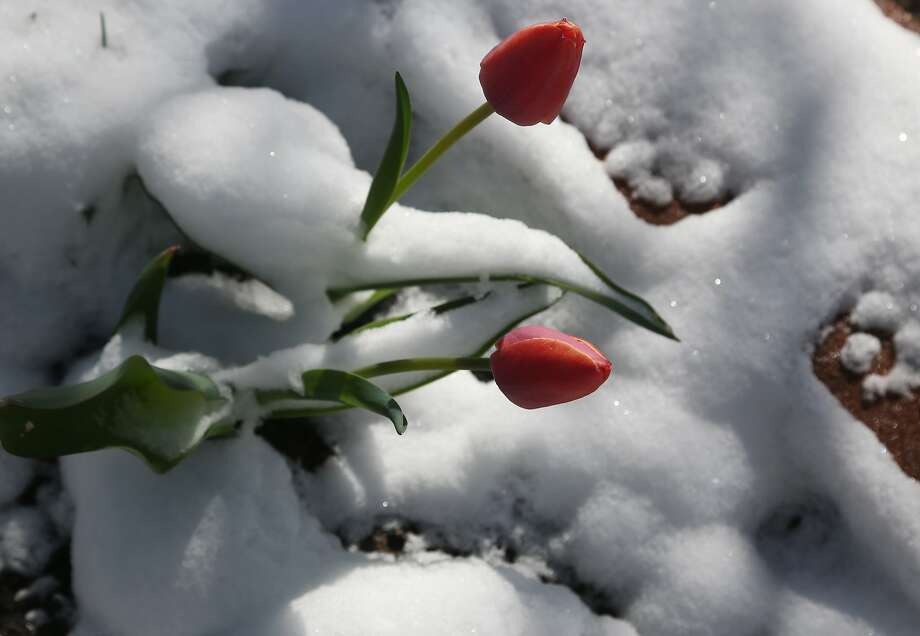 A pair of tulips stick out of a drift of snow in Denver after a spring storm packing heavy winds and up to six inches of snow swept over the Centennial State early on Monday, April 14, 2014. Forecasters predict yet another storm will bring snow to Colorado later this week. (AP Photo/David Zalubowski) Photo: David Zalubowski, Associated Press