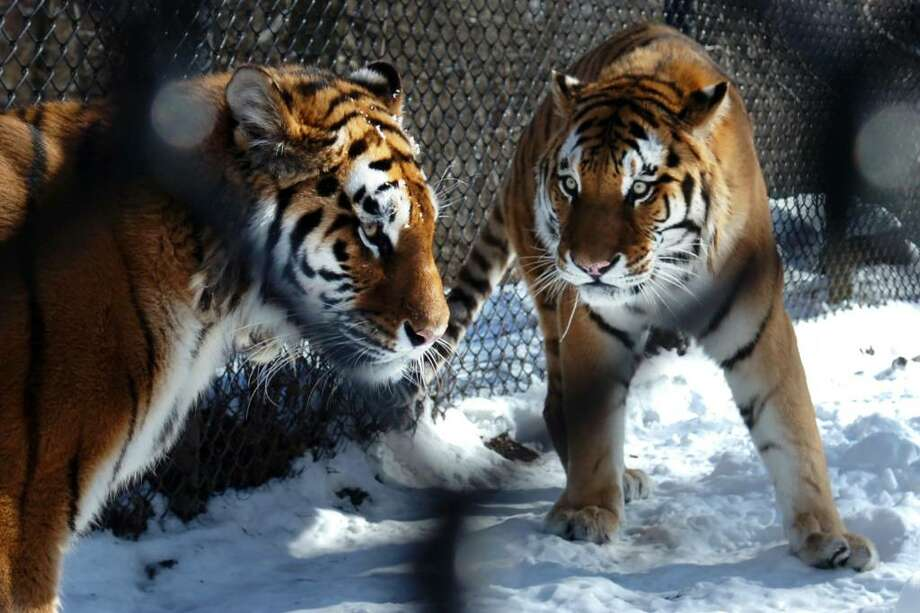 Two Amur tigers, Booskin (left), a male, and Naka, a female, have been slowly getting to know each other since being introduced into the same pen at Connecticut's Beardsley Zoo, in Bridgeport, Conn., seen here on Thrs. Feb. 11th, 2010. Zoo officials hope the two tigers will breed. Amur tigers are an endangered species. Photo: Ned Gerard / Connecticut Post