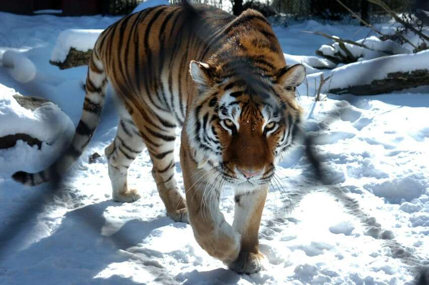 One of the two Amur tigers at Connecticut's Beardsley Zoo, in Bridgeport, Conn., seen here on Thrs. Feb. 11th, 2010. Zoo officials hope the two tigers, one male and one female, will breed. Amur tigers are an endangered species.