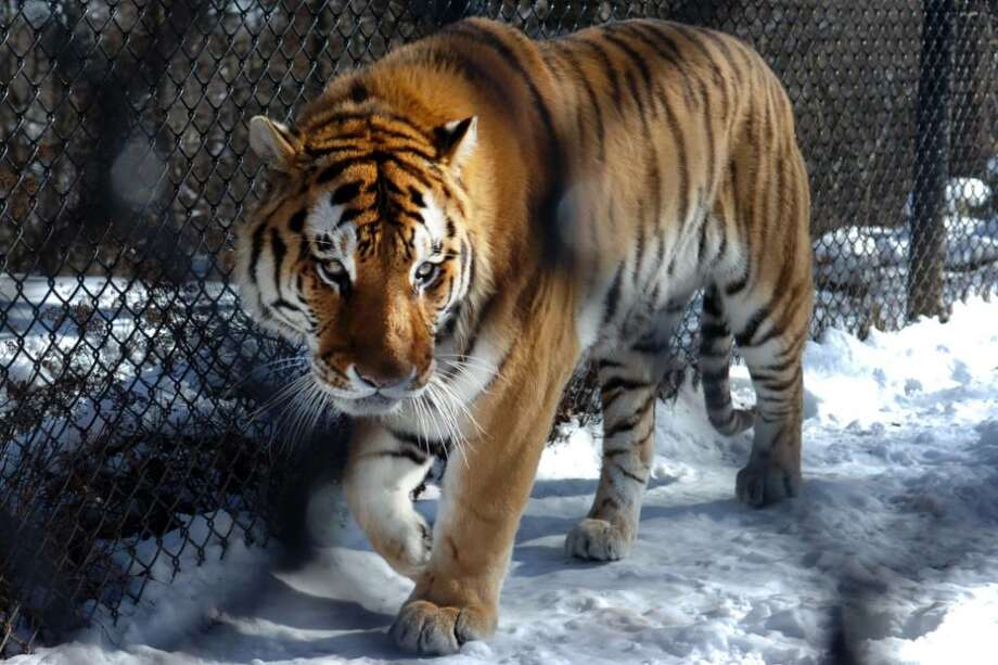 One of the two Amur tigers at Connecticut's Beardsley Zoo, in Bridgeport, Conn., seen here on Thrs. Feb. 11th, 2010. Zoo officials hope the two tigers, one male and one female, will breed. Amur tigers are an endangered species. Photo: Ned Gerard / Connecticut Post
