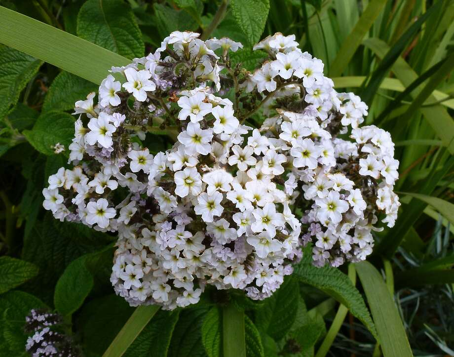 The less common white form, Heliotropium arborescens 'Alba,' has a very intense, sweet scent. Photo: Annie's Annuals And Perennials