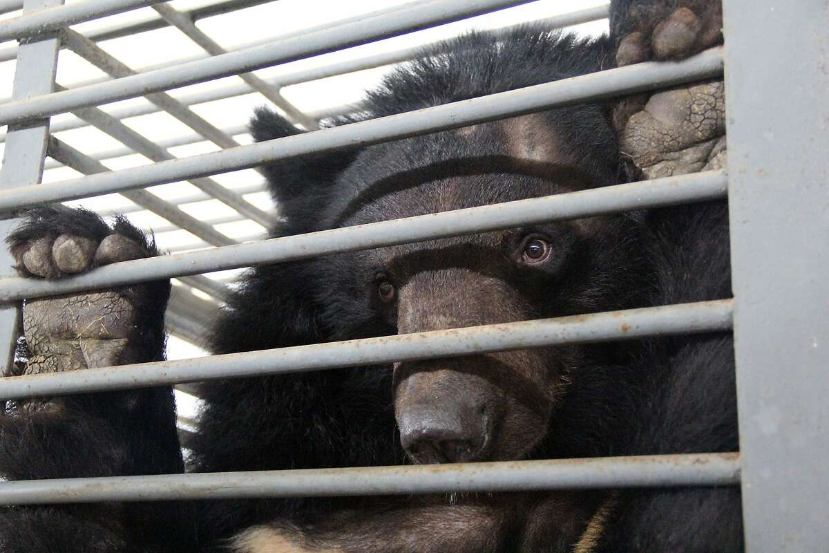 An Asiatic black bear looks out from a cage at the bear farm operated by Flower World in the southern Chinese city of Nanning, March 2014. Asiatic black bears are also known as