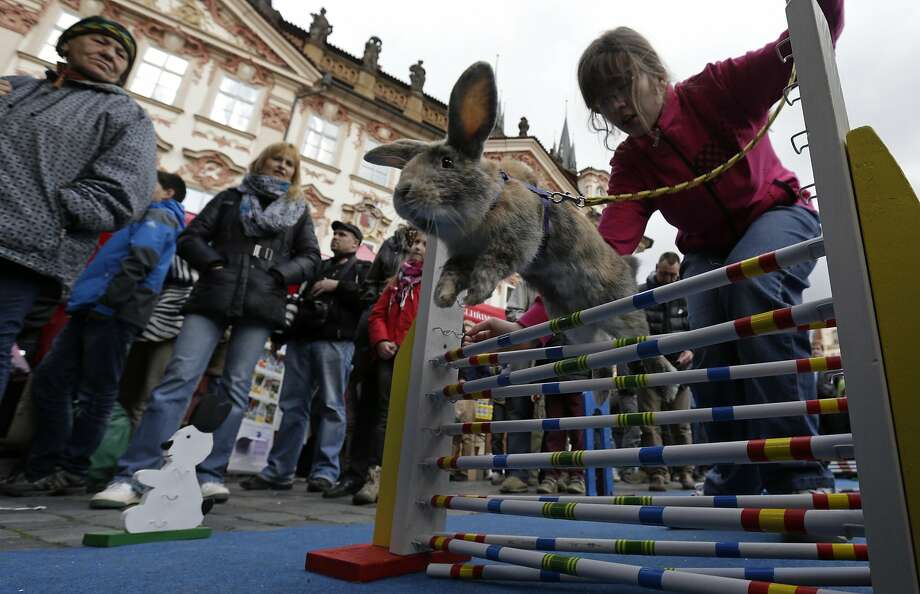 People look at a rabbit jumping over an obstacle at the traditional Easter market at the Old Town Square in Prague April 14, 2014. Holy Week is celebrated in many Christian traditions during the week before Easter. Photo: David W Cerny, Reuters