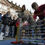 People look at a rabbit jumping over an obstacle at the traditional Easter market at the Old Town Square in Prague April 14, 2014. Holy Week is celebrated in many Christian traditions during the week before Easter.