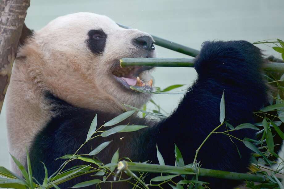 At Panda Express, you can use conventional utensils or chopsticks. Yang Guang demonstrates the latter. (Edinburgh Zoo, Scotland.) Photo: Jeff J Mitchell, Getty Images