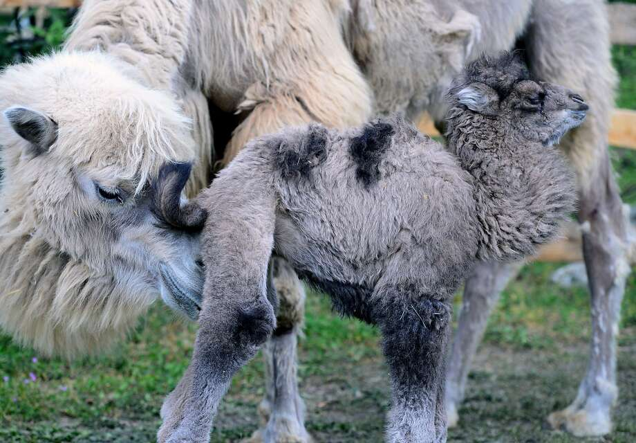 Well, this is going to scar me for life: In front of all the other camels at the Budapest Zoo and Botanic Garden, Iris makes sure her 1-week-old baby, Ilias, is presentable for public display. Photo: Attila Kisbenedek, AFP/Getty Images