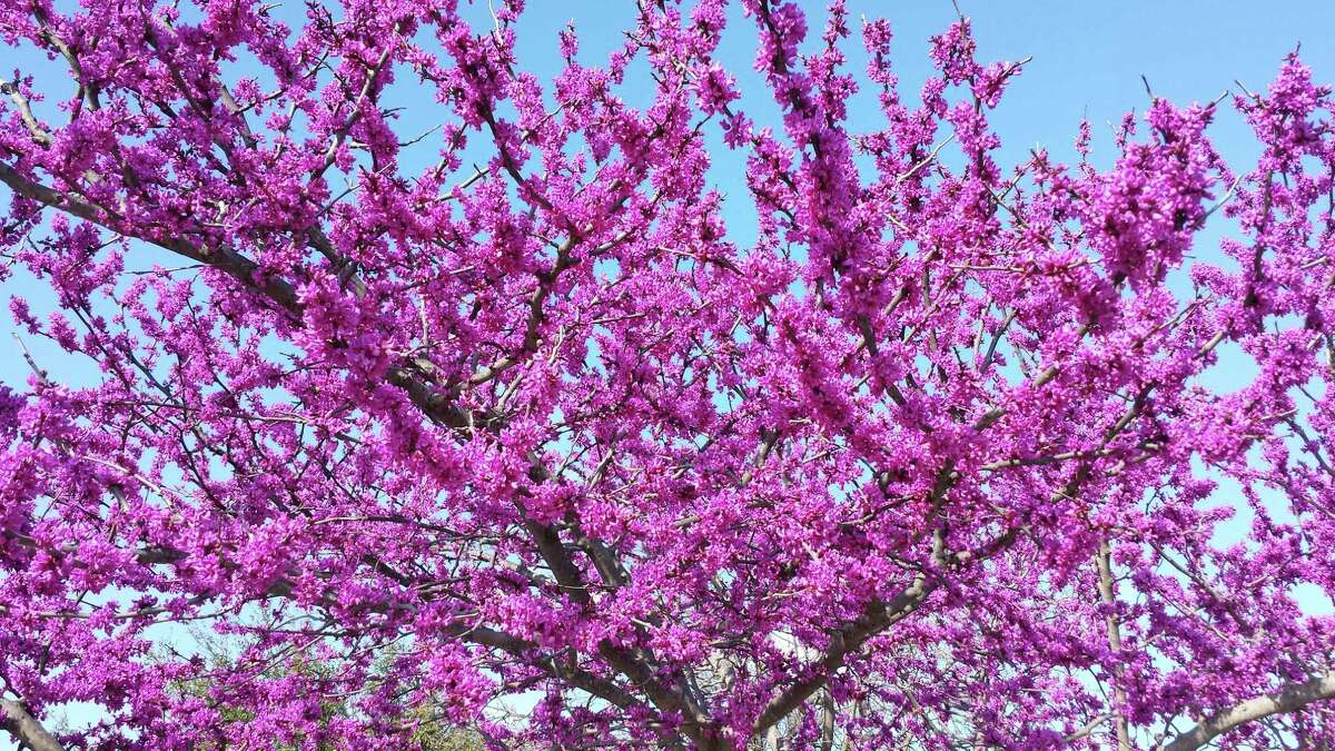 Redbud is a harbinger of spring, its pink blossoms opening along bare branches in February. Carolina jasmine and spreading lavender lantana also provide reliable color.