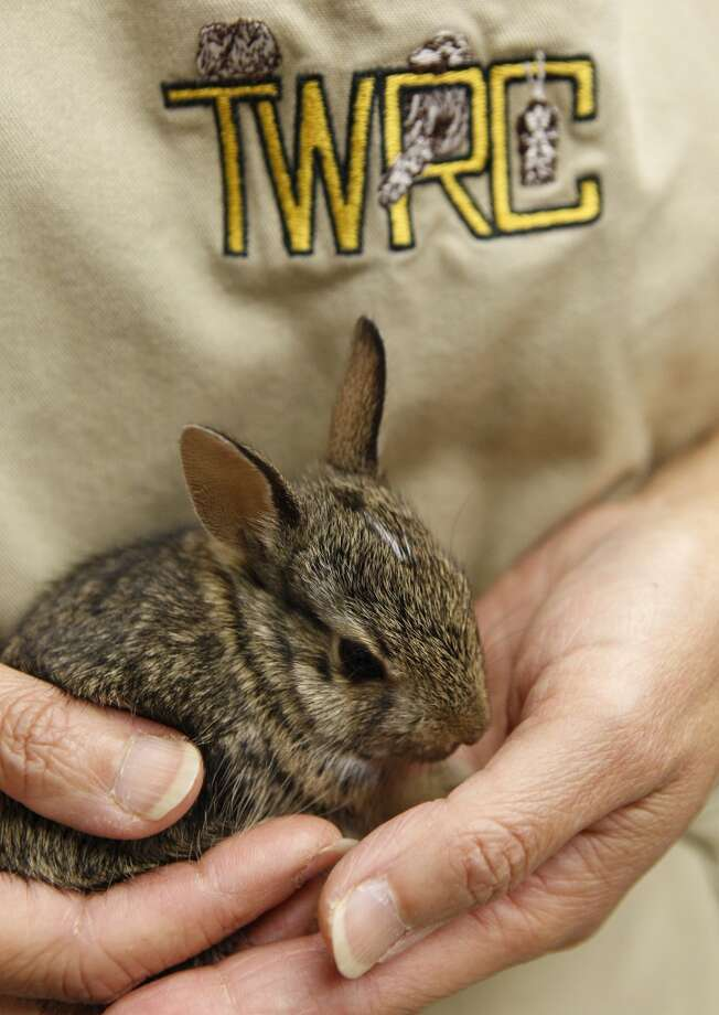 Malrie Dreith of Houston holds a baby cottontail rabbit at the Texas Wildlife Rehabilitation Coalition Wildlife Center, 10801 Hammerly, Monday, April 11, 2011, in Houston. ( Melissa Phillip / Houston Chronicle ) Photo: Melissa Phillip, Houston Chronicle