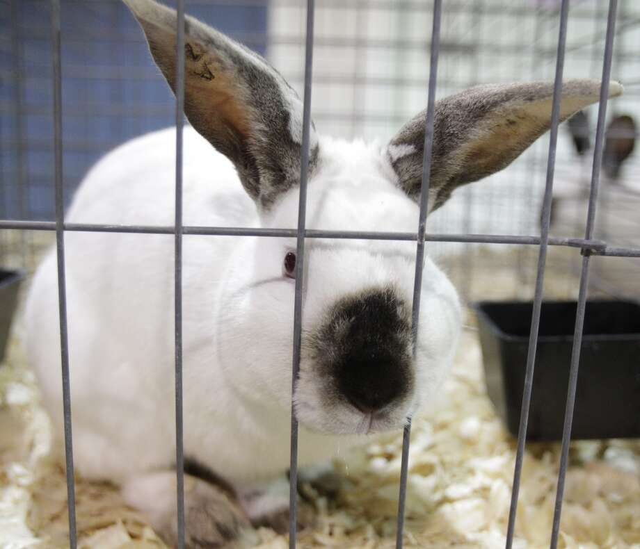 A Californian rabbit sits in a pen during the Youth Meat Rabbit Pen Show in Reliant Arena during the Houston Livestock Show and Rodeo, Friday, March 2, 2012, in Houston.  ( Melissa Phillip / Houston Chronicle ) Photo: Melissa Phillip, Houston Chronicle