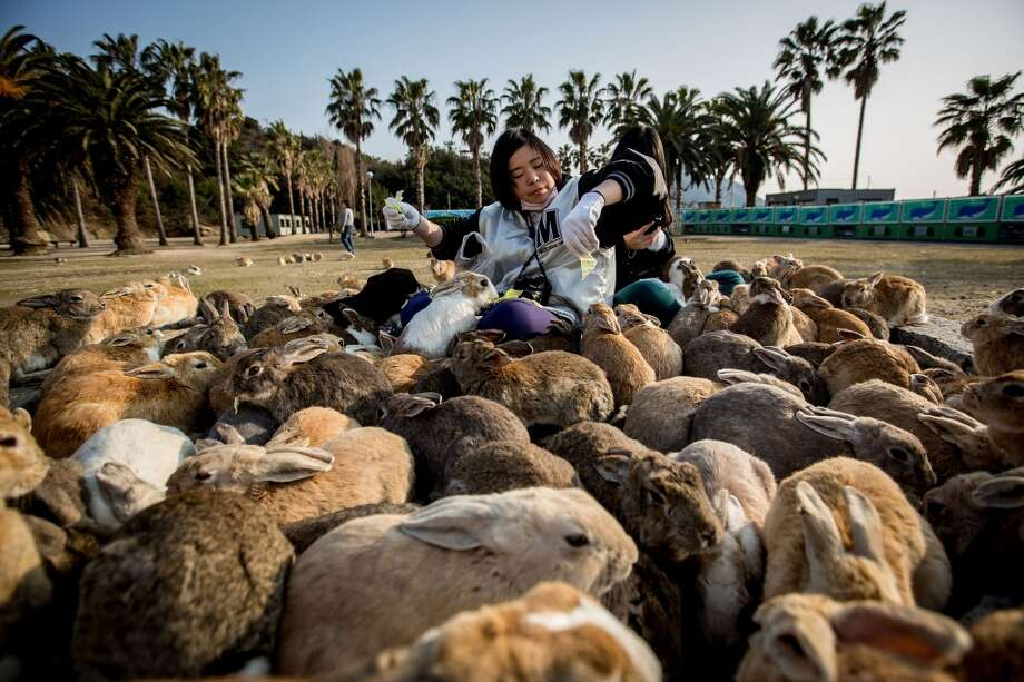 "TAKEHARA, JAPAN - FEBRUARY 24:  Two tourists sit and feed hundreds of rabbits  at Okunoshima Island on February 24, 2014 in Takehara, Japan. Okunoshima is a small island located in the Inland Sea of Japan in Hiroshima Prefecture. The Island often called Usagi Jima or ""Rabbit Island"" is famous for it's rabbit population that has taken over the island and become a tourist attraction with many people coming to the feed the animals and enjoy the islands tourist facilities which include a resort, six hole golf course and camping grounds. During World War II the island was used as a poison gas facility. From 1929 to 1945, the Japanese Army produced five types of poison gas on Okunoshima Island. The island was so secret that local residents were told to keep away and it was removed from area maps. Today ruins of the old forts and chemical factories can be found all across the island.  (Photo by Chris McGrath/Getty Images) Photo: Chris McGrath, Getty Images"