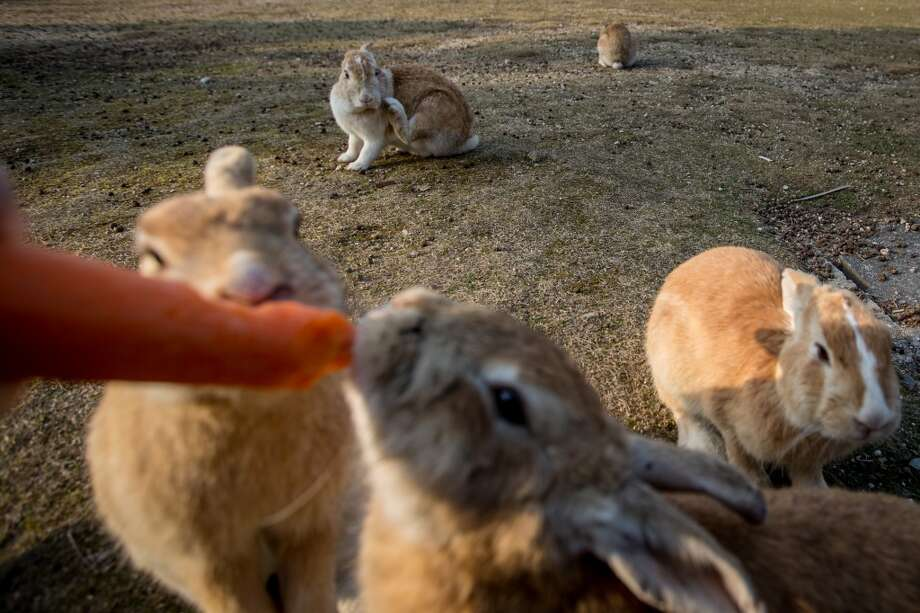 "TAKEHARA, JAPAN - FEBRUARY 24: A tourist feeds rabbits on Okunoshima Island on February 24, 2014 in Takehara, Japan. Okunoshima is a small island located in the Inland Sea of Japan in Hiroshima Prefecture. The Island often called Usagi Jima or ""Rabbit Island"" is famous for it's rabbit population that has taken over the island and become a tourist attraction with many people coming to the feed the animals and enjoy the islands tourist facilities which include a resort, six hole golf course and camping grounds. During World War II the island was used as a poison gas facility. From 1929 to 1945, the Japanese Army produced five types of poison gas on Okunoshima Island. The island was so secret that local residents were told to keep away and it was removed from area maps. Today ruins of the old forts and chemical factories can be found all across the island.  (Photo by Chris McGrath/Getty Images) Photo: Chris McGrath, Getty Images"