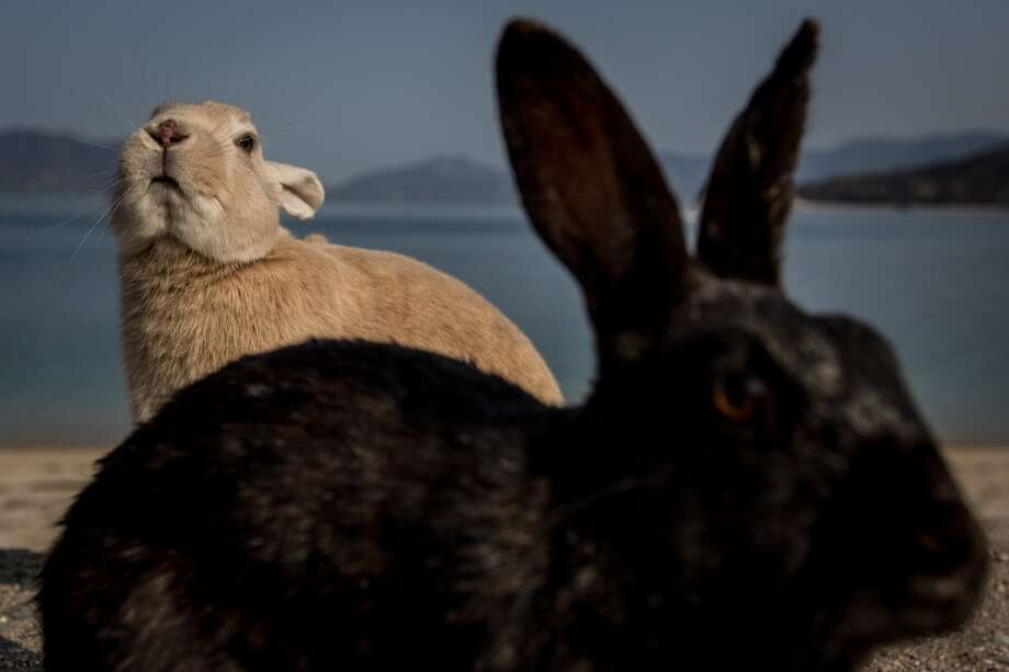 "TAKEHARA, JAPAN - FEBRUARY 24: Rabbits look for food at the beach on Okunoshima Island on February 24, 2014 in Takehara, Japan. Okunoshima is a small island located in the Inland Sea of Japan in Hiroshima Prefecture. The Island often called Usagi Jima or ""Rabbit Island"" is famous for it's rabbit population that has taken over the island and become a tourist attraction with many people coming to the feed the animals and enjoy the islands tourist facilities which include a resort, six hole golf course and camping grounds. During World War II the island was used as a poison gas facility. From 1929 to 1945, the Japanese Army produced five types of poison gas on Okunoshima Island. The island was so secret that local residents were told to keep away and it was removed from area maps. Today ruins of the old forts and chemical factories can be found all across the island.  (Photo by Chris McGrath/Getty Images) *** BESTPIX *** Photo: Chris McGrath, Getty Images"