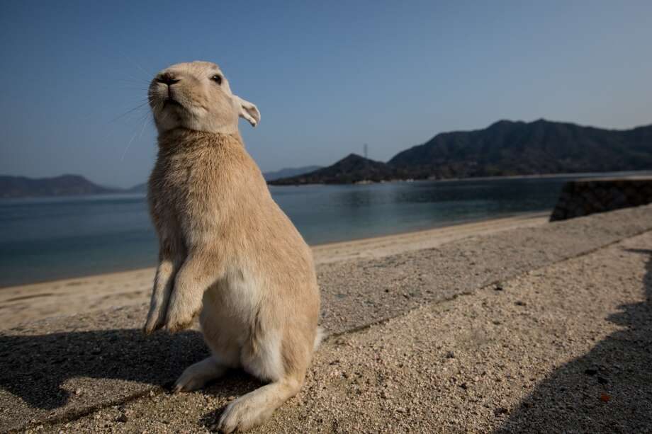 "TAKEHARA, JAPAN - FEBRUARY 24:  A rabbit waits for food at the beach on Okunoshima Island on February 24, 2014 in Takehara, Japan. Okunoshima is a small island located in the Inland Sea of Japan in Hiroshima Prefecture. The Island often called Usagi Jima or ""Rabbit Island"" is famous for it's rabbit population that has taken over the island and become a tourist attraction with many people coming to the feed the animals and enjoy the islands tourist facilities which include a resort, six hole golf course and camping grounds. During World War II the island was used as a poison gas facility. From 1929 to 1945, the Japanese Army produced five types of poison gas on Okunoshima Island. The island was so secret that local residents were told to keep away and it was removed from area maps. Today ruins of the old forts and chemical factories can be found all across the island.  (Photo by Chris McGrath/Getty Images) Photo: Chris McGrath, Getty Images"