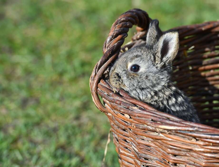 A bunny rabbit looks out of a wicker basket on a farm in Sieversdorf, eastern Germany on March 20, 2014.  AFP PHOTO / DPA/ PATRICK PLEUL          GERMANY OUTPATRICK PLEUL/AFP/Getty Images Photo: PATRICK PLEUL, AFP/Getty Images