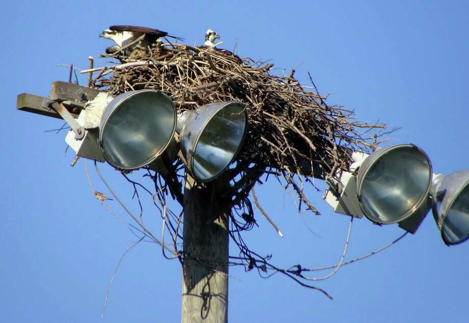 A pair of ospreys has built a nest this spring atop a light tower at Sullivan Field at the South Pine Creek recreation complex. Photo: Meg Barone / Fairfield Citizen