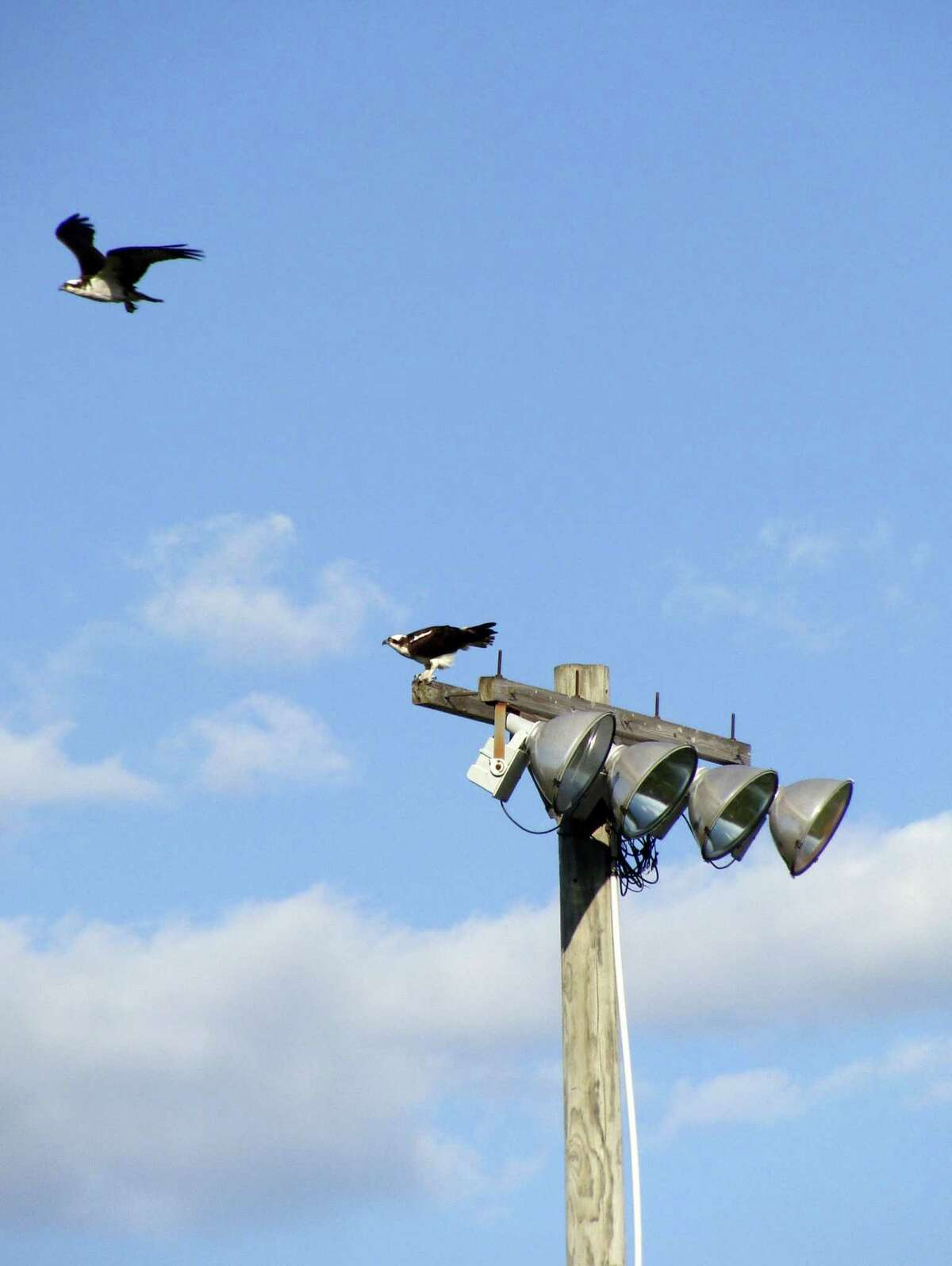 Ospreys alight on one of the light towers at the South Pine Creek recreation complex, near the tower where they have built a nest this spring.