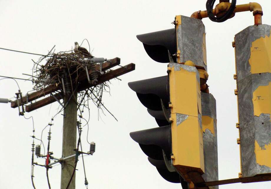 A pair of ospreys this spring has built a nest atop a utility pole on busy Post Road East, between the Terrain and Fresh Markets stores. Photo: Meg Barone / Westport News