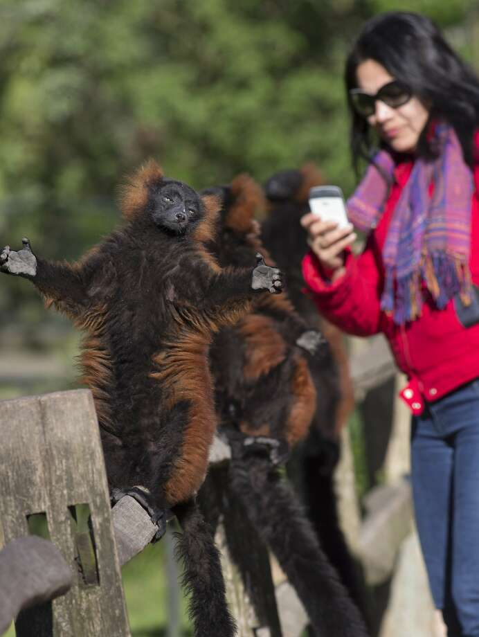Look what you started, Ellen! Now even lemurs are flamboyantly posing for selfies. (Artis Royal Zoo in 