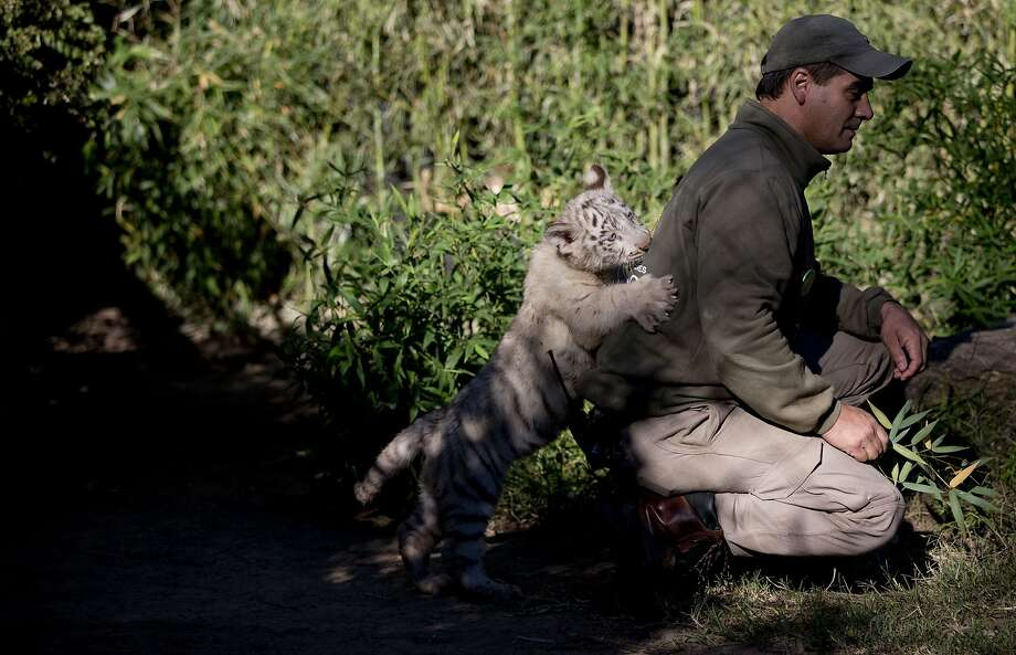 There's been another white Bengal tiger attack at the Buenos Aires Zoo. The victim, a zookeeper named Guillermo Guarniere, was not injured. But he may need a new shirt. Photo: Natacha Pisarenko, Associated Press