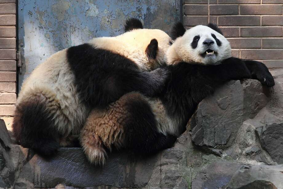 Not tonight, dear, I've got a headache, I need to wash my hair, it's a bad time of the month and don't you have something to fix? Giant pandas, notorious for their low sex drive, are among the world's most endangered animals.(Hangzhou Zoo in China.) Photo: Stringer, AFP/Getty Images