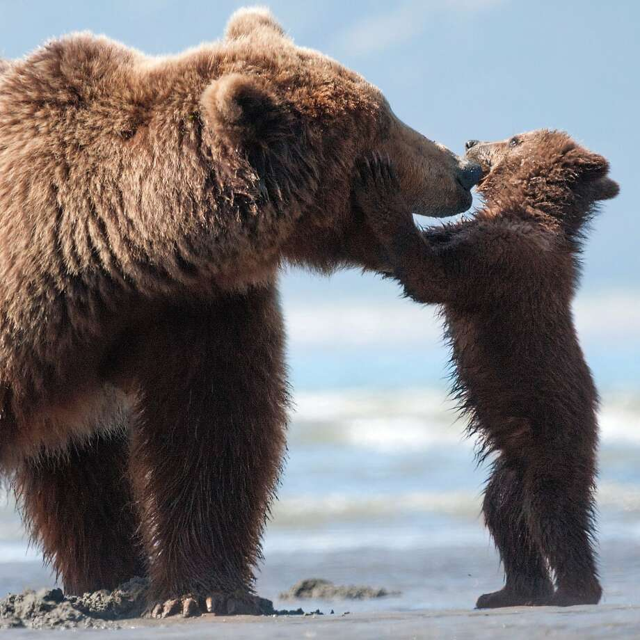 Mother grizzly Sky spends a light moment with Scout, one of her two cubs, as they travel from snow-capped mountains to salmon spawning grounds, always on the lookout for food and possible enemies. Photo: Photo: Adam Chapman, Walt Disney Films