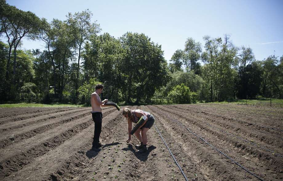 Henry Shaw and Emily Parsons plant seedlings at Everett Family Farm in Soquel. The row crops at the 45-acre farm include lettuces, kale and other vegetables. Photo: Preston Gannaway, Special To The Chronicle