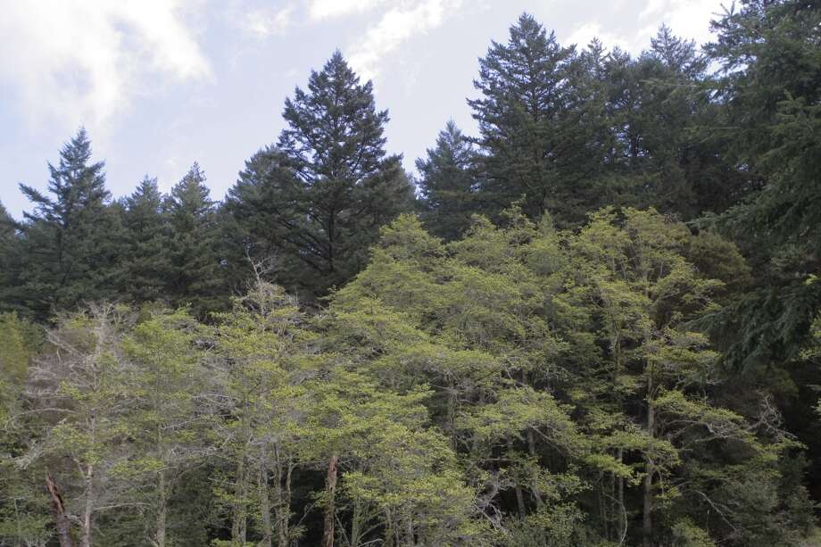 From ridge, you can see freshly leafed-out oaks backed by Douglas firs and redwoods Photo: Tom Stienstra