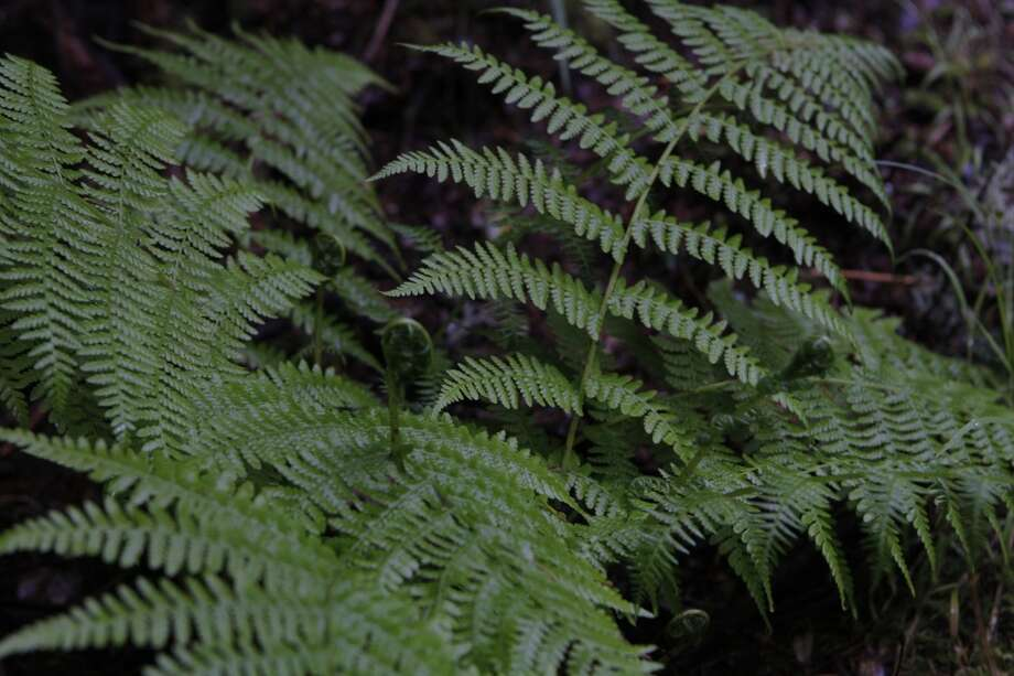 Fern unrolls with fresh spring growth Photo: Tom Stienstra