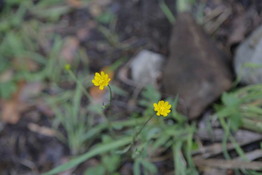 California buttercups found near pond outlet at headwaters of Peters Creek Photo: Tom Stienstra