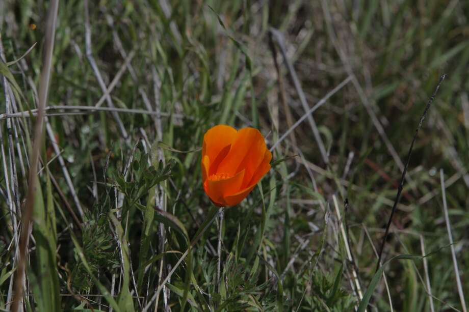 California poppy brightens grasslands on Long Ridge Photo: Tom Stienstra