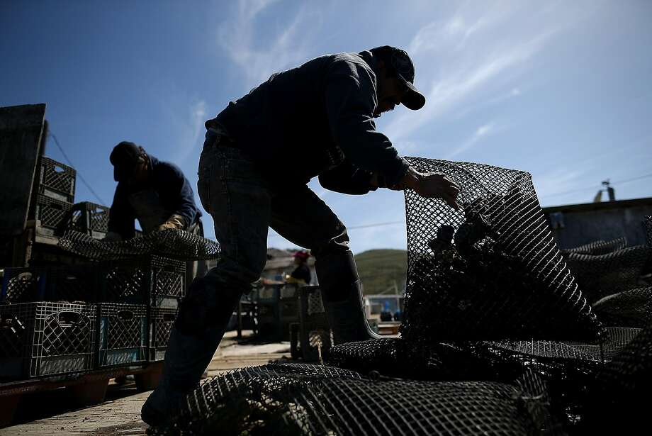 INVERNESS, CA - APRIL 16:  Drakes Bay Oyster Co. workers sort bags of freshly harvested oysters on April 16, 2014 in Inverness, California. Oyster farmer Kevin Lunny has asked the U.S. Supreme Court to review his case against the U.S. Park Service to renew the lease for his oyster farm that operates on Drakes Estero which is on federal land and Congress has designated as a marine wilderness. Recently, the 9th U.S. Circuit Court of Appeals ruled against an injunction sought by Lunny to stay in business following former Interior Secretary Ken Salazar's decision to not issue a new operational permit and extend the lease of the land for the oyster company. The Park Service and conservationists argue that Lunny's operations are destroying eelgrass beds, and his farm is too close to the area used by harbor seals for reproducing. Lunny reportedly responds that his farm is 'the epitome of sustainable food production,' and oysters have improved the water quality by filtering out particulate matter as they feed and were helping the eelgrass to flourish since the early 90's. Drakes Bay Oyster Co. produces over 300,000 oysters and about one million Manila clams each year, reportedly, 85 percent of shellfish grown in Marin County.  (Photo by Justin Sullivan/Getty Images) Photo: Justin Sullivan, Getty Images