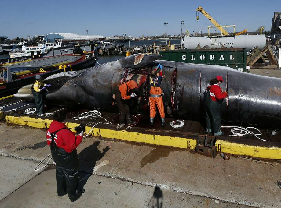 Marine biologists conduct a necropsy on an over 55 foot long finback whale, Wednesday, April 16, 2014, in Jersey City, N.J. The whale was found dead in New York harbor over the weekend. The whale was found stuck on the bow of a container ship in the harbor on April 12, and later towed to an Army Corps of Engineers station near Liberty State Park. A spokesman for the stranding center said it isn't uncommon for whales to make their way into shipping lanes as they travel up and the down the East Coast. (AP Photo/Julio Cortez) Photo: Julio Cortez, Associated Press