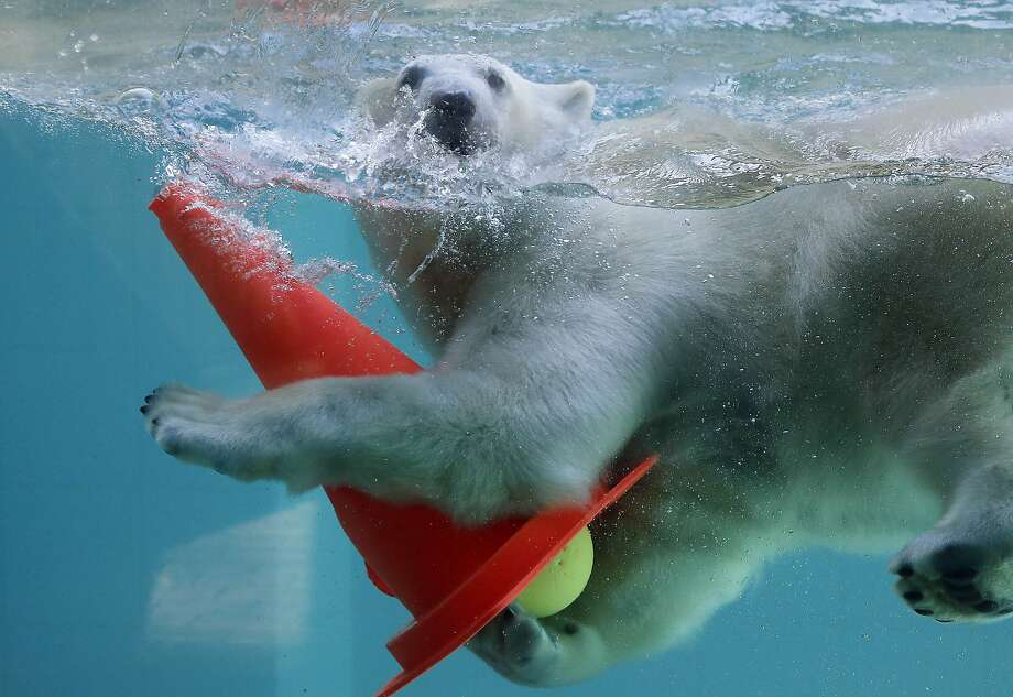Young Polar bear Anori plays with his toys in the pool of their enclosure at the Zoo in Wuppertal, Germany, Wednesday, April 16, 2014 as spring weather arrives in Germany with temperatures up to 19 degrees Celsius (66 Fahrenheit) and continuous sunshine. (AP Photo/Frank Augstein) Photo: Frank Augstein, Associated Press
